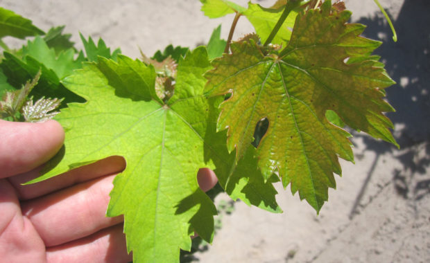 Iron Chlorosis in Grape Leaves