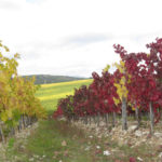 Grape vines exhibiting varietal differences in fall color.