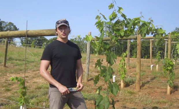 training trunks and cordons on grapevines in hot climates