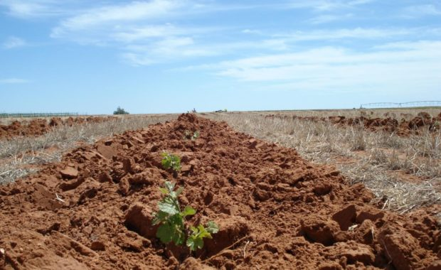 Young grapevines planted in ruddy soil in vineyard