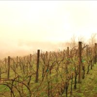 Grapevines in mist